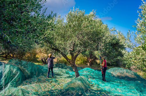 Fotografia Fresh olives harvesting from women agriculturalists  in an olive field in Crete,