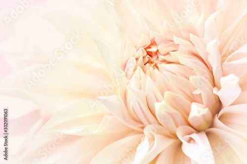 Fotomural Summer blossoming delicate dahlia, blooming flowers festive background, pastel a