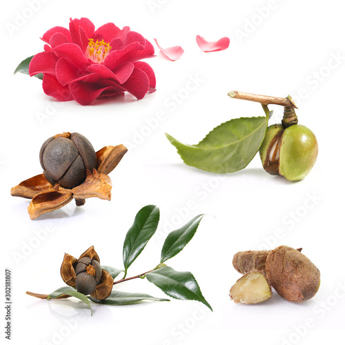 Fotografia open camellia nuts with seeds on a white background