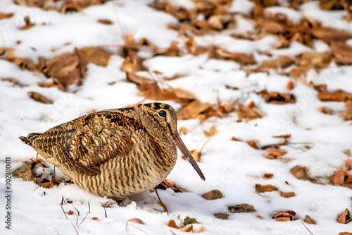 Obraz na płótnie Camouflage bird woodcock