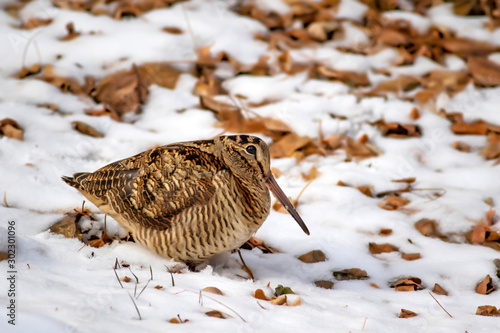Camouflage bird woodcock Fototapeta