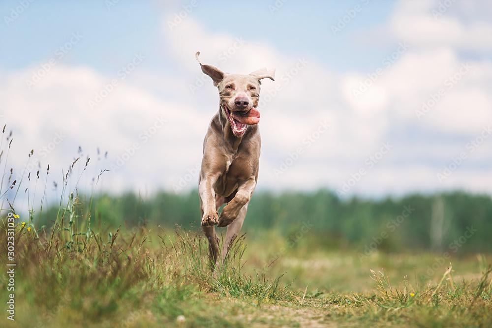 Szczęśliwy pies Wyżeł weimarski grając w lato pole <span>plik: #302331039   autor: Alexandr</span>