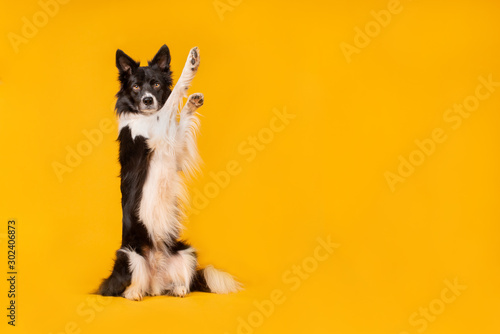 Fotografia, Obraz Black and white border collie dog on yellow background