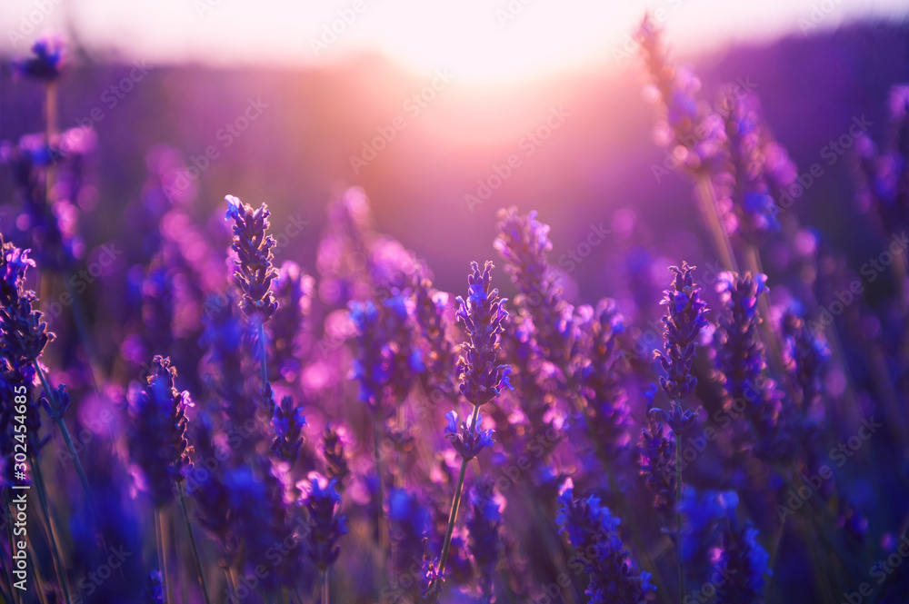 Lavender flowers at sunset in Provence, France. Macro image, shallow depth of field. Beautiful nature background <span>plik: #302454685 | autor: smallredgirl</span>