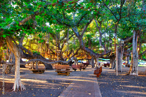 Stampa su Tela The famous Banyan Tree on Front Street in Lahaina on Maui.