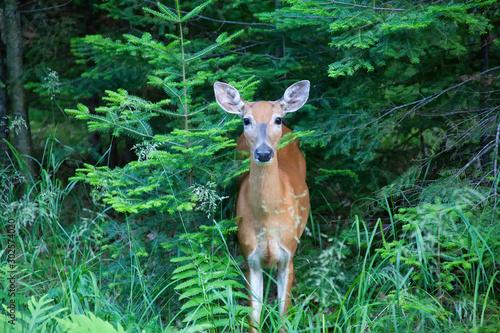 Canvas Print Whitetail Deer, Doe