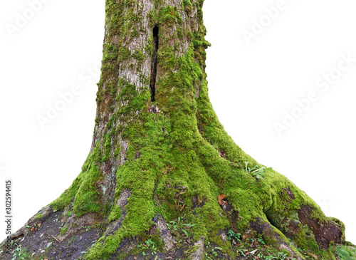 Canvas Print Rotten trunk of a centenary oak covered with green moss and lichen isolated