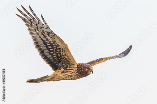 Canvas-taulu A Female Northern Harrier Hawk Hunts in a Pale Blue Sky