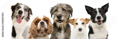 Photo banner group five dogs breeds, cavalier, jack russell, sheepdog and border collie for web side