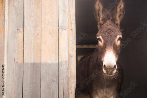 Portrait of a donkey on farm. Fototapeta