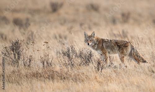 Photo Coyote in Banff Canada