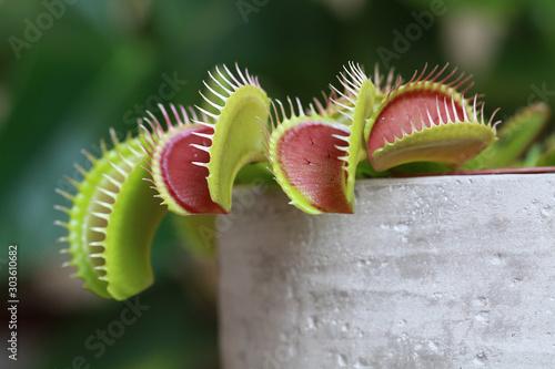 Plante carnivore Dionaea muscipula Fototapete