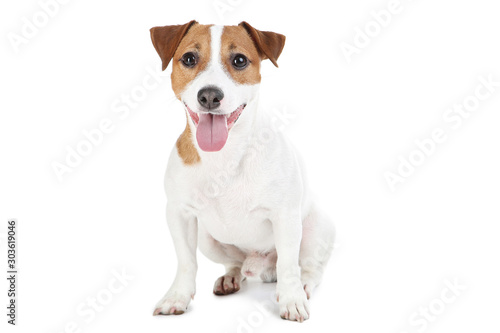Fotografie, Obraz Beautiful Jack Russell Terrier dog isolated on white background