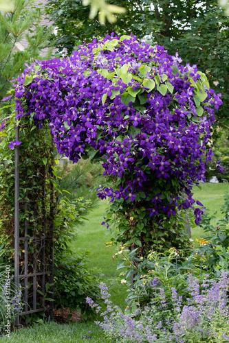 Fotografia, Obraz A portrait view of Royal Purple jackmanii in full bloom on an iron arbor