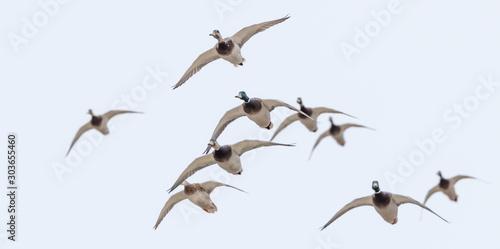 Stampa su Tela Flock of mallard ducks