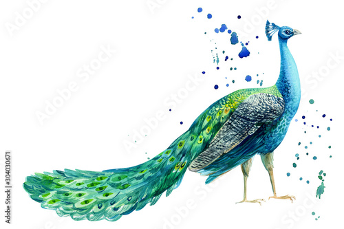 Stampa su Tela peacock bird on a white background, watercolor hand drawing