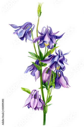Foto bouquet of Aquilegia purple flowers, on isolated white background, watercolor il