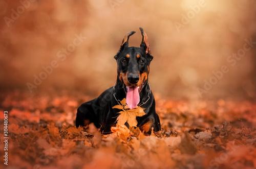 Fotografiet doberman lovely dog magical portrait fun walk in autumn park