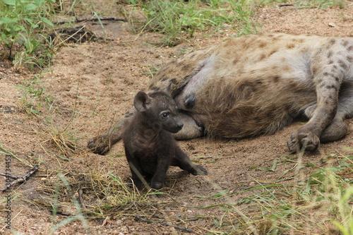 Tablou Canvas hyena pup