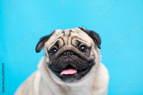 Wallpaper Mural Happy adorable dog pug breed smile and cheerful on blue background,Pug Purebred