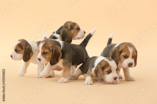 Fototapeta Cute beagle puppies on color background