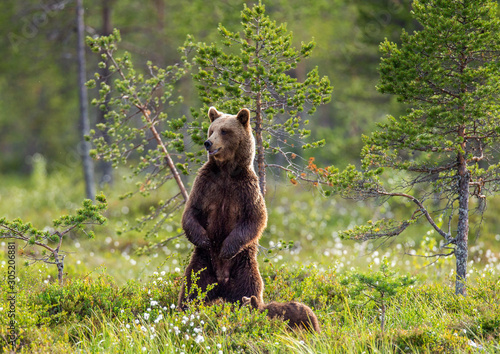 Fototapeta Brown bear in a forest glade is standing on its hind legs