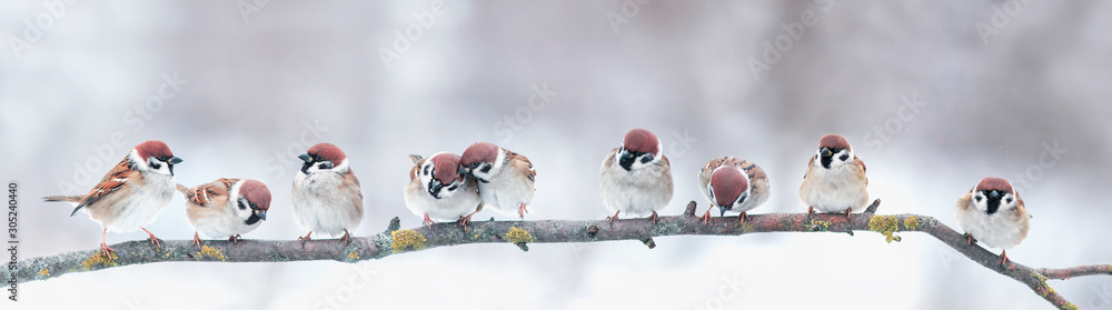panoramic photo with a group of small funny birds sparrows sit on a branch in different poses in a winter Park <span>plik: #305240440   autor: nataba</span>