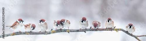 zdjęcie panoramiczne z grupą małych zabawnych ptaków wróble siedzą na gałęzi w różnych pozach w winter park