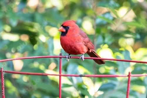 Vászonkép A male cardinal perched on a garden plant frame