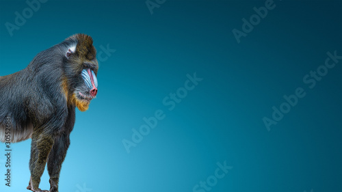 Fotografia Banner with portrait of a mature alpha male of colorful African mandrill at smoo