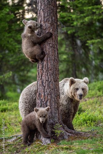 Fotografie, Obraz Brown bear cubs climbs a tree