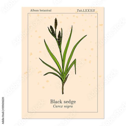 Black sedge carex nigra , medicinal plant Fototapeta