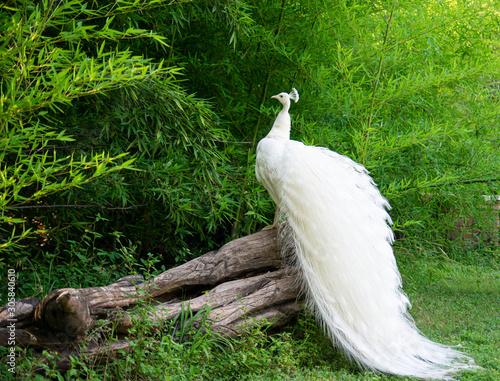 Fotografia White Peacock