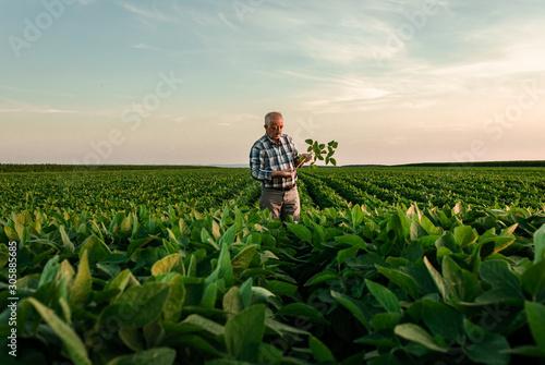 Senior farmer standing in soybean field examining crop at sunset. Fototapeta
