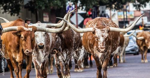 Fototapeta Texas Longhorns at Fort Worth Stockyard Station