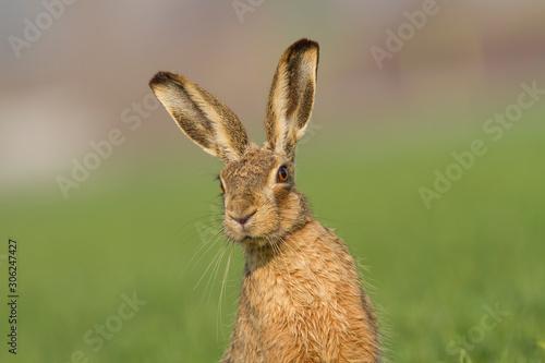 Fotografia, Obraz European brown hare (Lepus europaeus)