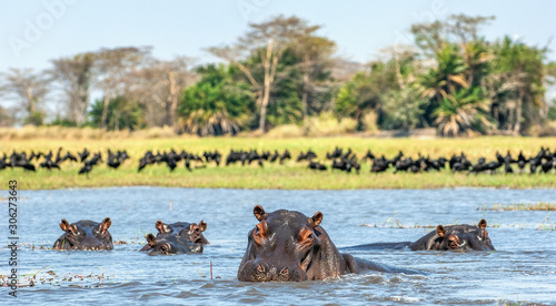 Fotografie, Tablou The common hippopotamus in the water. Sunny day. Africa