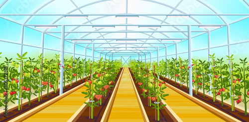 Valokuvatapetti A large greenhouse with rows of tomatoes.Vector illustration.