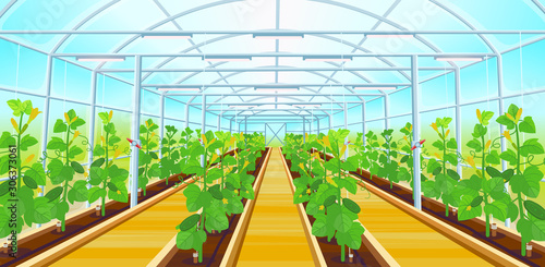 Valokuva A large greenhouse with rows of cucumbers.Vector illustration.