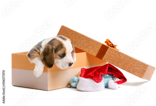 Fotografie, Obraz Cute beagle puppy in box and Christmas decor on white background