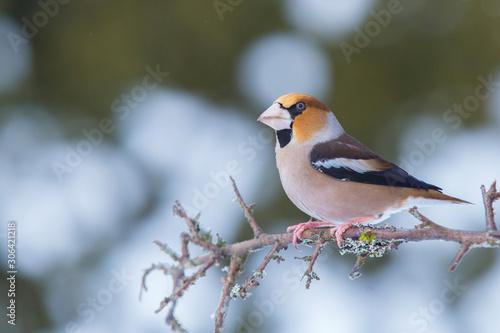Canvastavla Hawfinch (Coccothraustes coccothraustes)