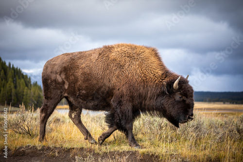 Foto American bison walking and looking for food in Yellowstone National Park