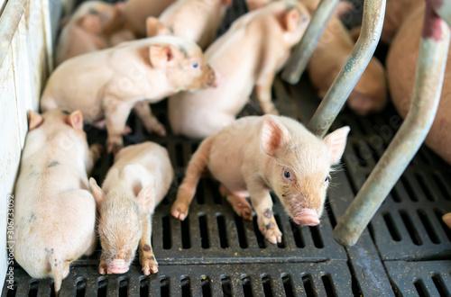 Wallpaper Mural cute piglets at the farm