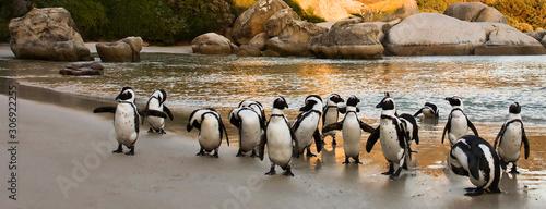 Fototapeta premium African Penguins on Boulders Beach, Cape Town, South Africa