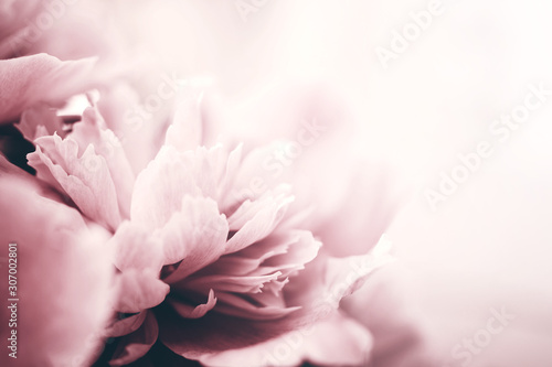 Fotografia Peony flowers close-up, soft focus. Gentle floral background