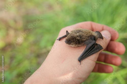 Fototapeta small bat on a man's hand