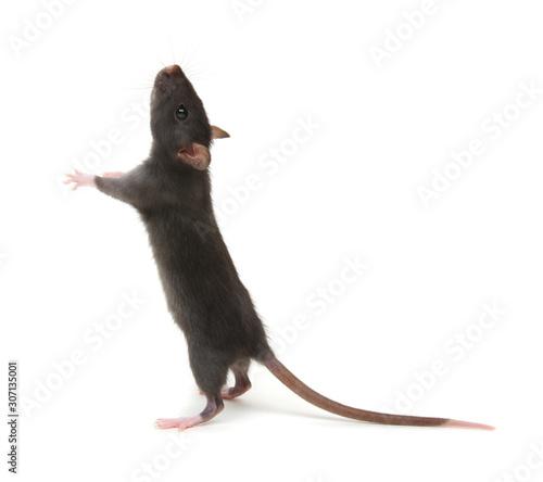 Fotografia, Obraz Rat standing on hind legs on white
