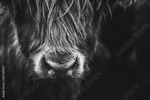 Stampa su Tela Black and white picture of Scottish Highland Cow in field looking at the camera, Ireland, England, suffolk
