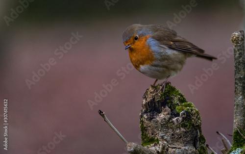 Stampa su Tela cute little round robin bird perched on a broken tree branch during winter