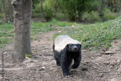 Tablou Canvas Honey Badger (Mellivora capensis)